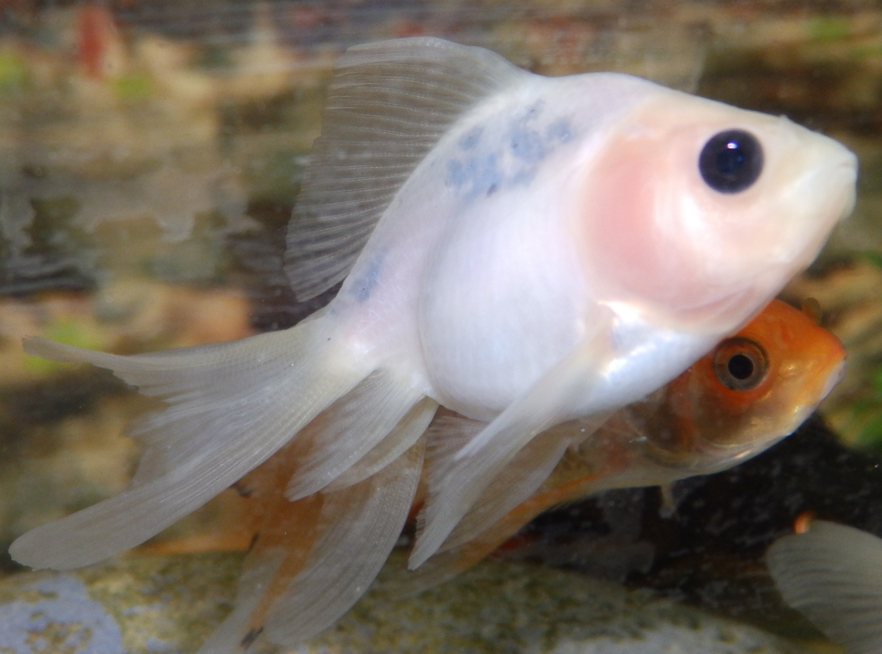 Reptiles amphibians fish scale less white oranda or for One eyed fish