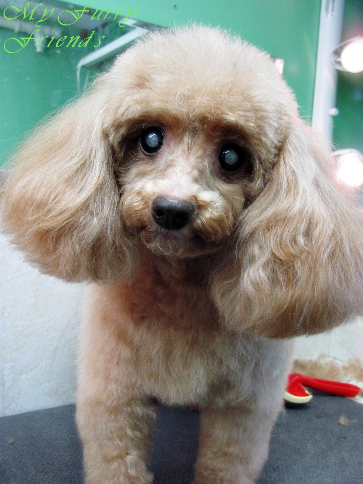 Grooming Your Furry Friend: Does A Poodle Have To Be ...