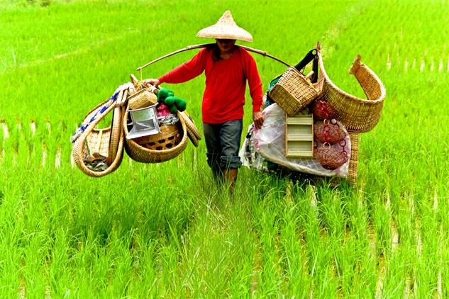 oriente, verde, trabajo, arroz, campesino