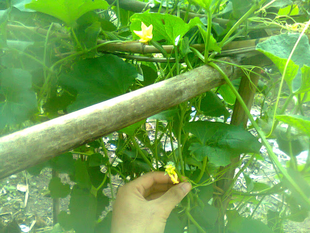 Pohon Gambas Atau Oyong dan Bunga Gambas
