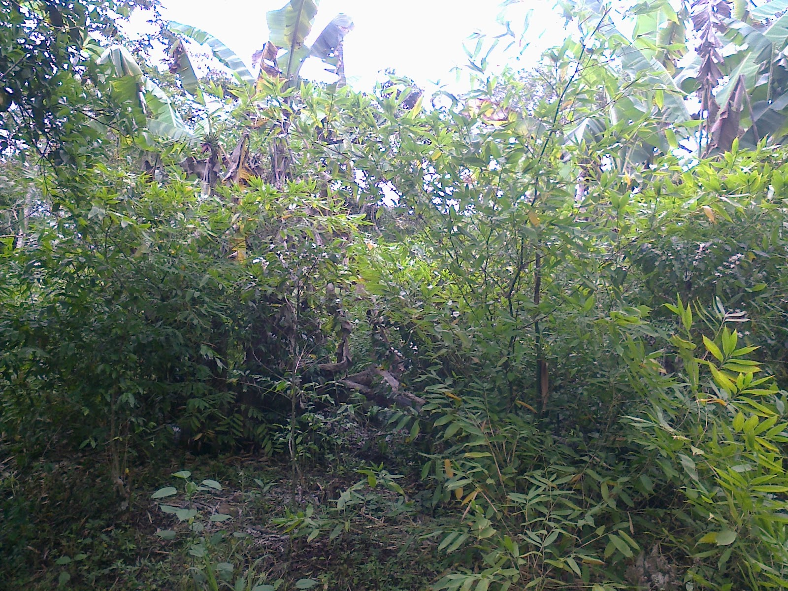 Caf campo y ambiente bamb como cultivo alternativo para rea de cafetales - Cultivo del bambu ...
