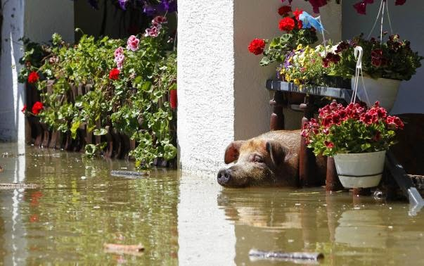 These 16 photos will disturb you... The Balkans in the grip of flood! - A pig waits to be rescued during heavy floods in Vojskova, May 19, 2014.