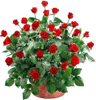 Rosas para Aninha!...