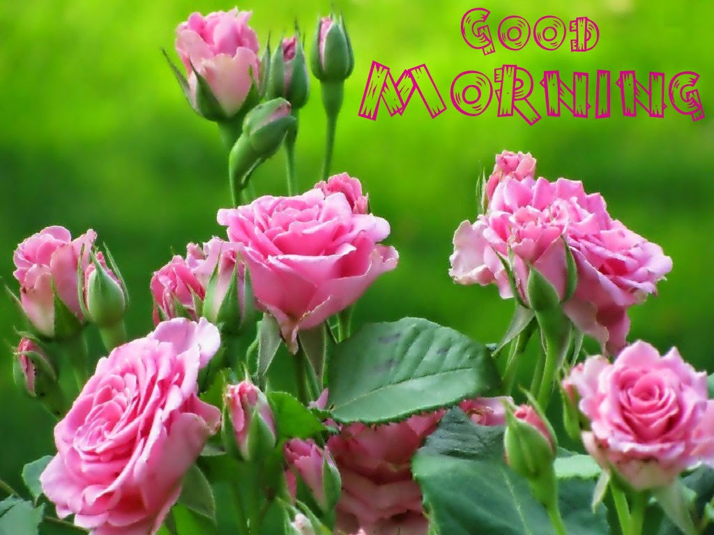 Good Morning Beautiful Pink Roses : Good morning pink roses images and pictures festival chaska