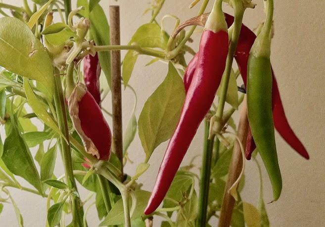 Röda och gröna chilifrukter på en chiliplanta.