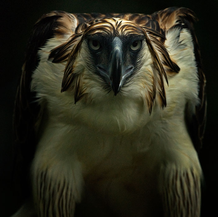 Philippine-Eagle-Close-up-photo2-by-Klaus-Nigge.jpg