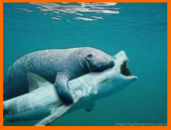 How Do Manatees Drink Water