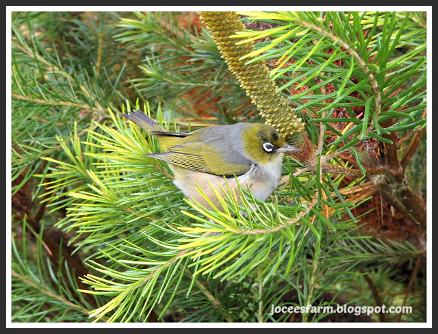 5 NZ Native Birds || joceesfarm.blogspot.co.nz