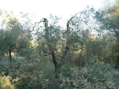 potatura olivo ribassare ulivi