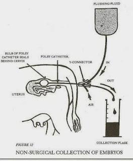 Thao tác rửa lấy phôi từ bò.