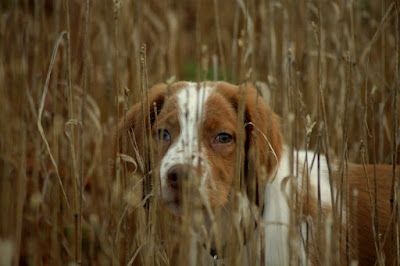 Bird dog pup looking through grass
