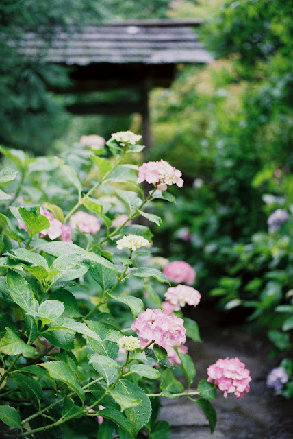 pink hydrangeas blooms in the temple
