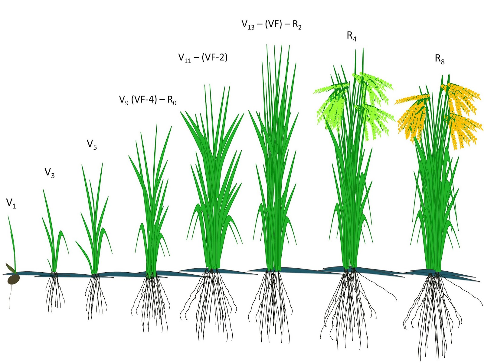 Fenologia do arroz irrigado adaptado counce et al 2000 sosbai 2012