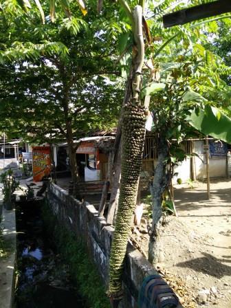 foto pisang raja sewu