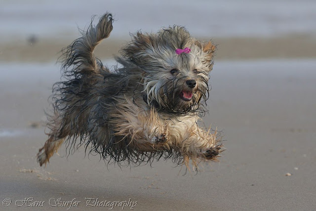 Happy flying wet Havanese puppy!
