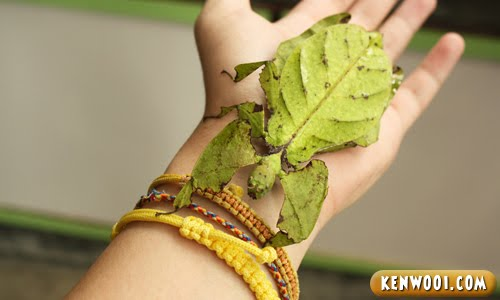 cameron leaf insect