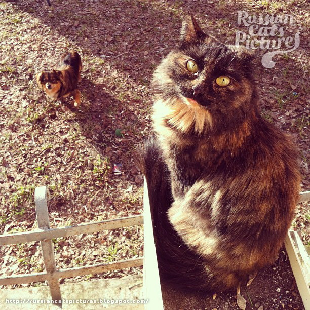 Domestic Instacats: Tortoiseshell Kitty Cat 08
