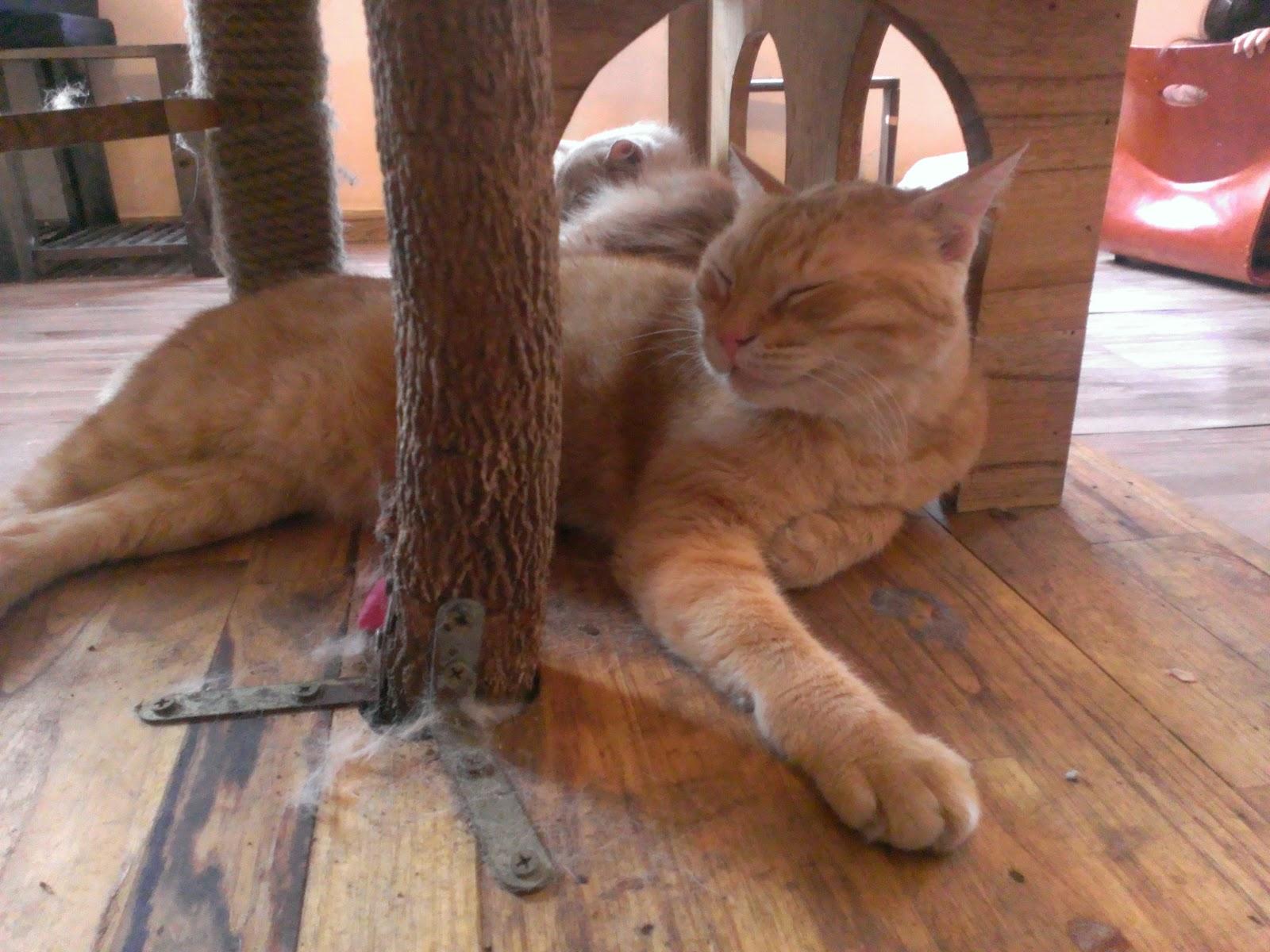 Một chú mèo ở Cafe mèo Ailu cat house cafe