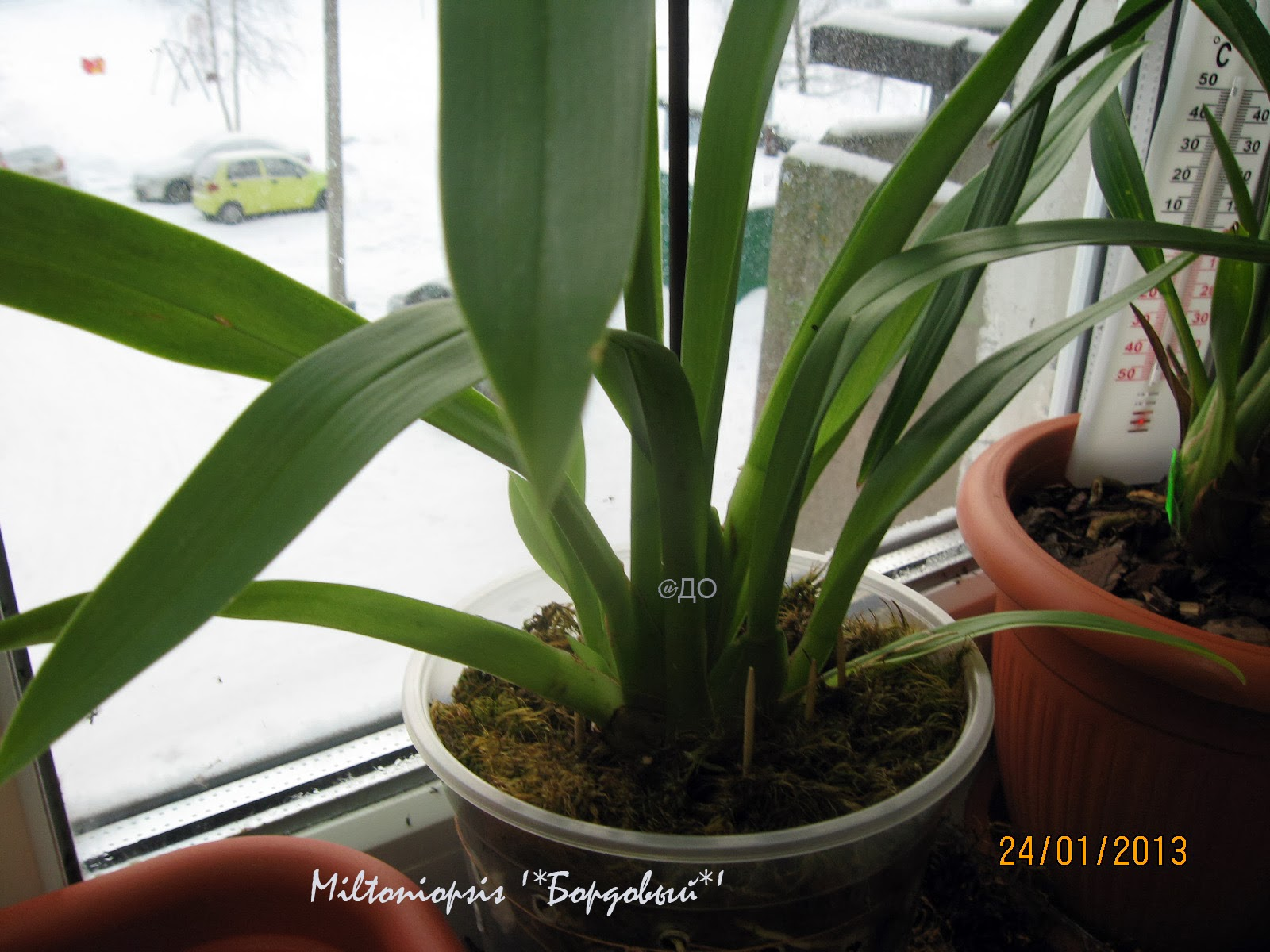 Зимовка мильтониопсиса