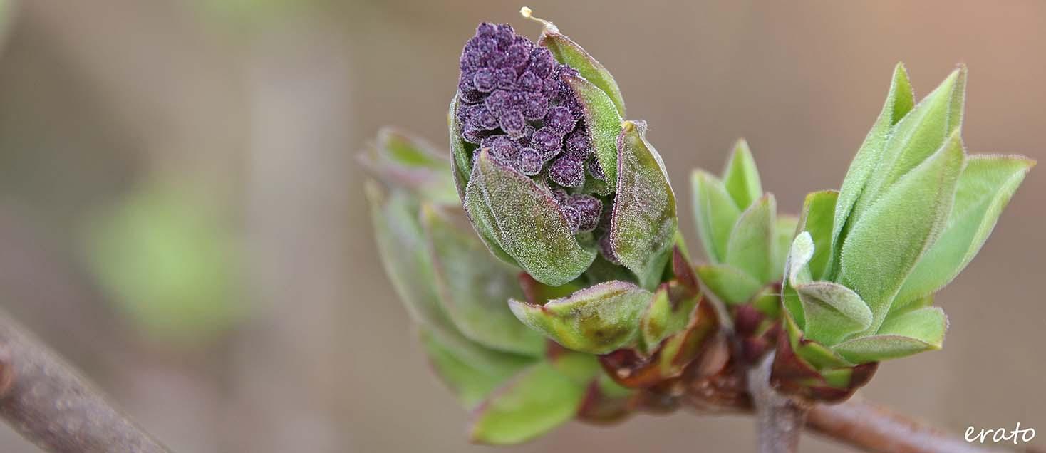 bourgeon de lilas