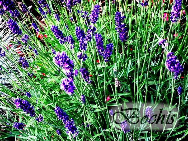 Flores y rboles lavanda - Lavanda clima ...
