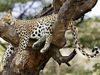 Leopardo durmiendo en un árbol
