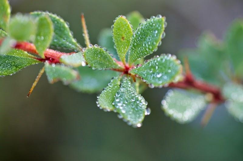 purslane and dew