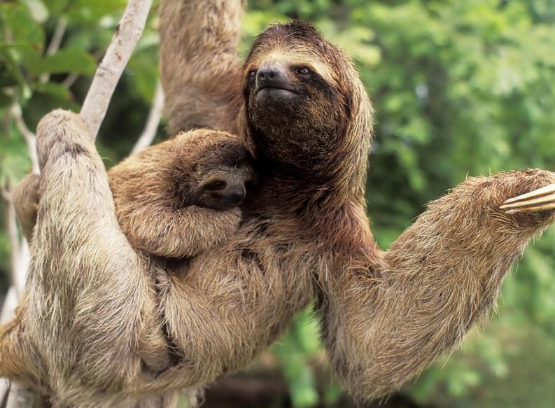 Three Toed Sloth Video