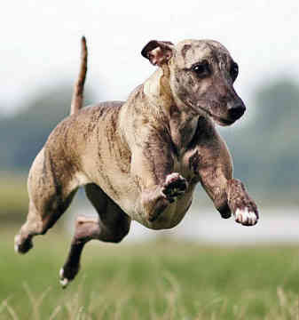 Whippet Dog Breed Pictures | Dog Pictures Online