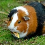 6 Tips to Give Eat Guinea pig - Maintain guinea pig