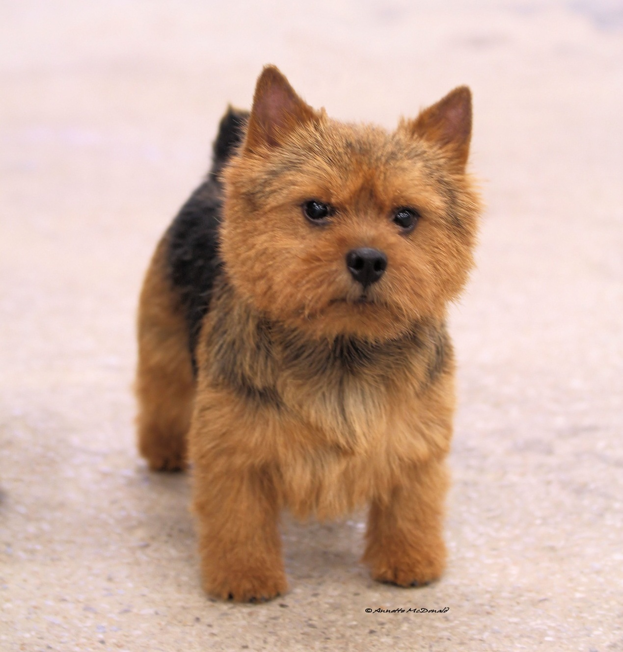 Norfolk Terrier What's Good About Em GCH CH Skyscots Texas Hold Em