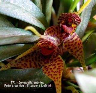 Dryadella zebrina  do blogdabeteorquideas