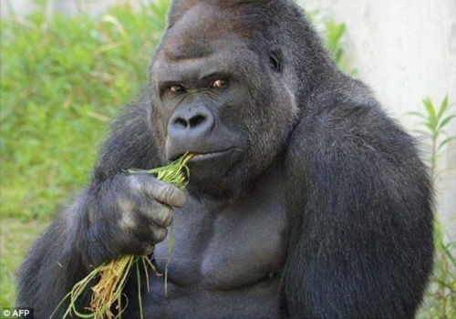 5 Gambar, Gorila Kacak Jadi Perhatian Gadis Jepun