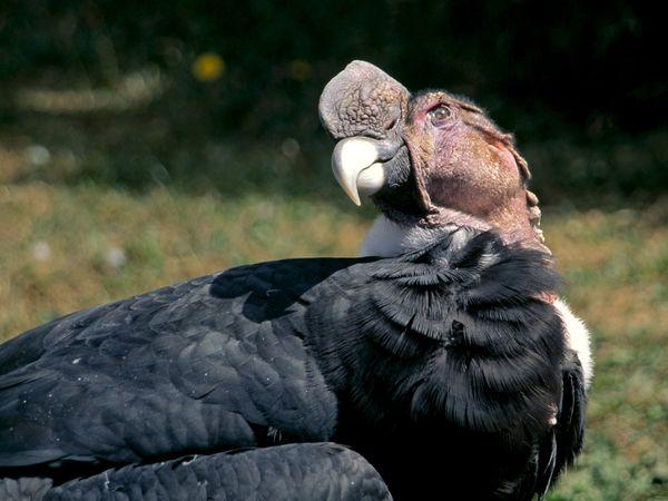 Foto burung rajawali andes