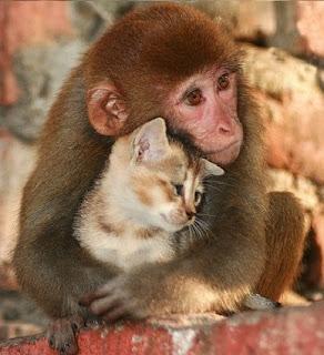 صورة لقرد يحتضن قطة..ما أجملهم