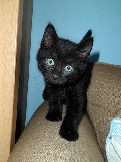 Tristan's black foster kitten