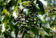 Maqui Berry ผลไม้เล็กๆ