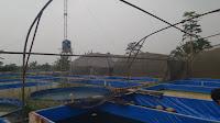 Peternakan Betta Fish Raja Cupang