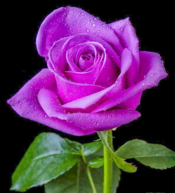 Rosas!!!