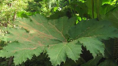 Wide green leaf