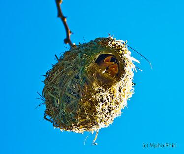 Southern Masked Weavers Nest