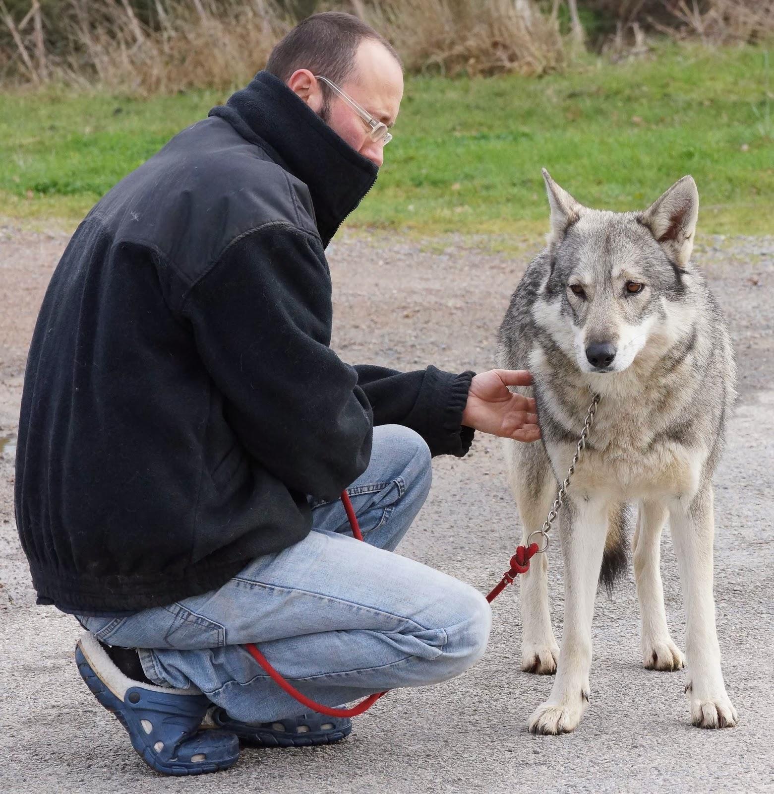 canenes africae chiens loups de saarloos