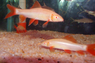 red finned rainbow shark picture