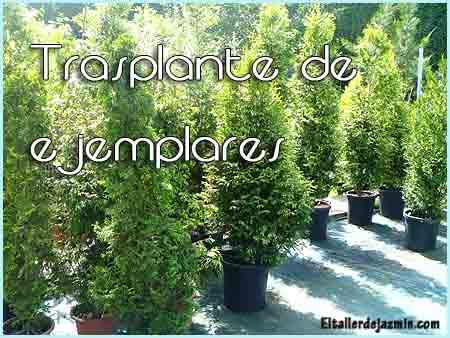 árboles, arbustos, trasplante