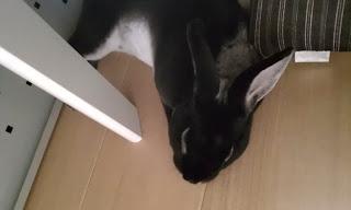 テーブルの下で寝るうさぎ、ミニレッキス