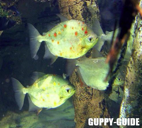 Guppy guide new fish at walmart for Types of fish at walmart