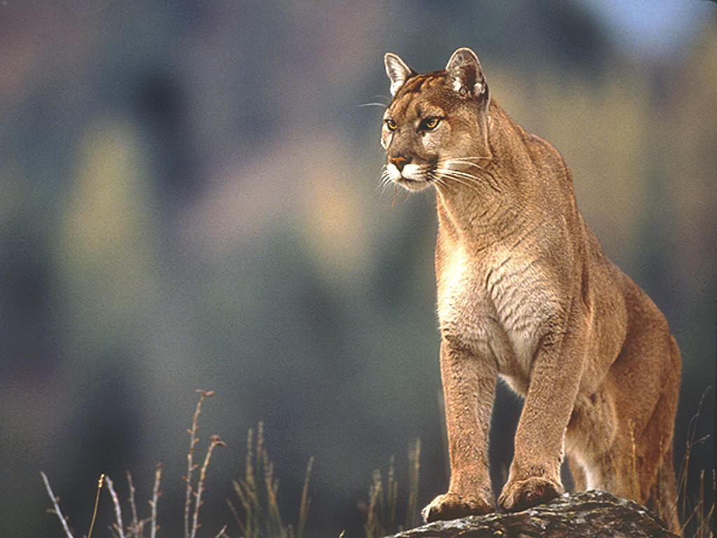 Archive  - Dangerous Animal Creatures The Biggest And Most Dangerous Cougar Inthe World Animal Picture
