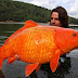 Ikan Mas Terbesar Di Dunia