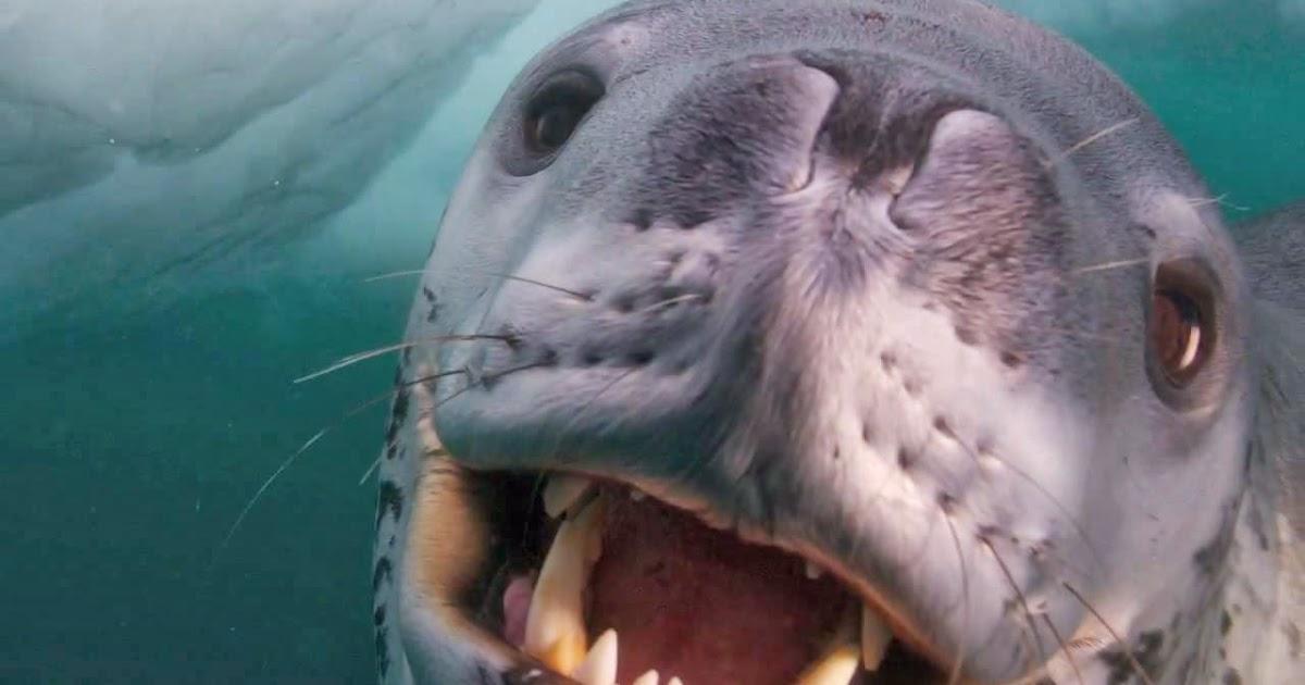 Leopard Seal Flaunts Nurturing Side | Fun Animals Wiki, Videos ...