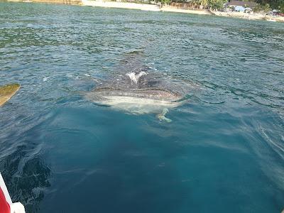 whale shark, oslob